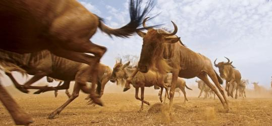 "A white-bearded wildebeest herd on the move in Africa, part of National Geographic Channel's ""Great Migrations.''"