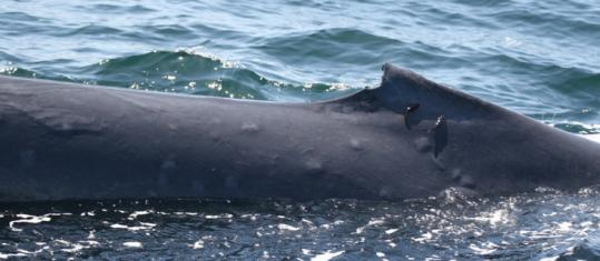 This blue whale, photographed in the Gulf of California, has blistered skin scientists say is associated with sun damage.