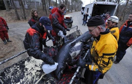 Rescue workers helped a dolphin on Lieutenant Island in Wellfleet, Mass., in March, when two groups of white-sided dolphins wounded up being stranded on Cape Cod.
