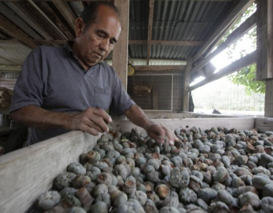 Mauro Morales sorted peyote buttons in Rio Grande City, Texas. He has been a licensed dealer in the United States since 1990, but said sales have fallen as plants have become harder to find.