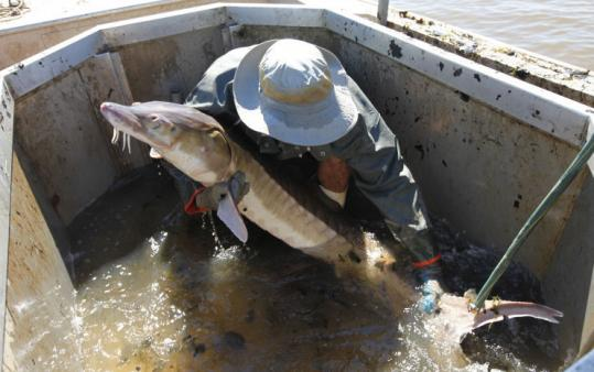 "Matt Balazik, a graduate student at Virginia Commonwealth University, grabbed an Atlantic sturgeon he caught in the James River. ""Their strength is just amazing,'' he said."
