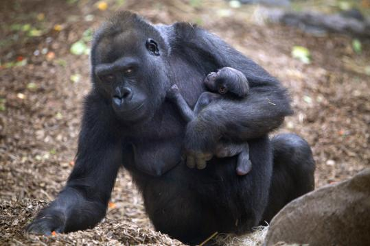 Franklin Park Zoo's Kiki gave birth in early November, but only this week were staff members able to determine the gender of the gorilla's third baby, who has yet to be named.