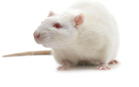 Researchers have been developing better ways to manipulate the genes of rats.