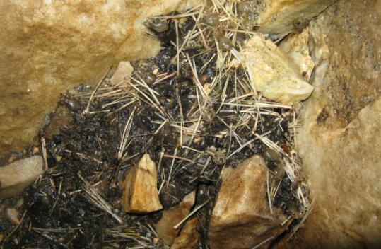 Decomposing skulls and wing bones of bats that died from white-nose syndrome lie on the floor of a cave.