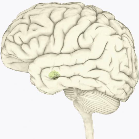 Research linked the amygdala's size to social network size.