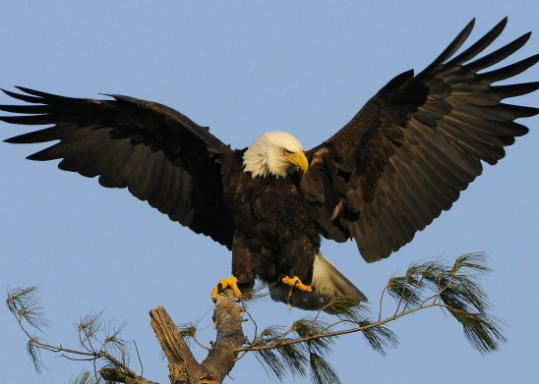 A bald eagle flies abve its nest in West Newbury last year.