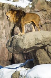 Christopher, a lion at the Franklin Park Zoo, roared from his heated rock.