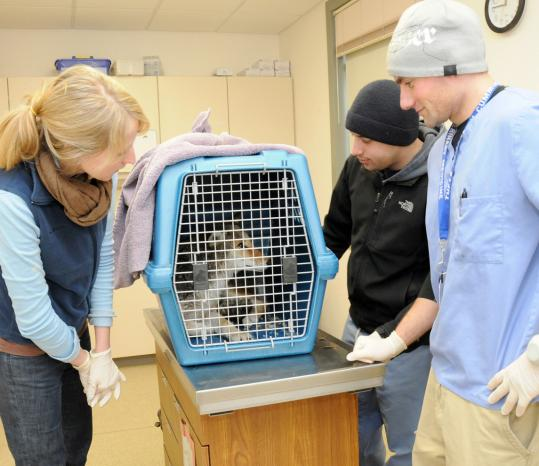 Tufts veterinary students (from left) Kacie Stetina, Benjamin Polansky, and Barry Brower kept an eye on the coyote yesterday after it was rescued by the Animal Rescue League of Boston.
