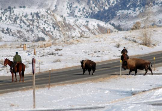 Riders from Yellowstone National Park and Montana's Department of Livestock drove bison across a road on Tuesday.