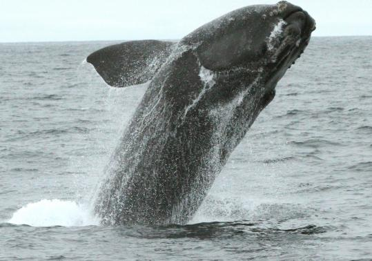 The number of right whales in the world may be as small as 440. (Photo taken under National Marine Fisheries Service scientific research permit 14233.)