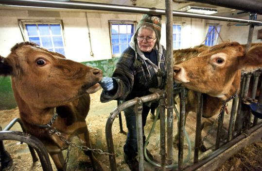 Cindy Wood hands out treats to her charges in the milking barn at Framingham&#8217;s Eastleigh Farm, among the few area dairies that sell raw milk.