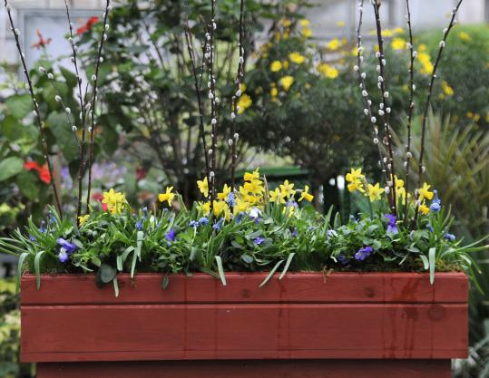 A flower box includes Tete a Tete daffodils, Blue Magic grape hyacinths, violas, and pussy willow wands.