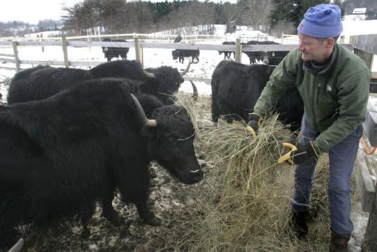 Rob Williams, a Vermont Yak Company founder, fed hay to some of the herd.