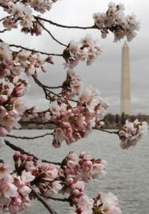 Cherry trees have begun to blossom in Washington, D.C.