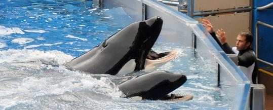 Tilikum (left) performed before a crowd of 5,000 at SeaWorld, more than a year after drowning a trainer.