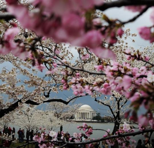 Cherry trees bloomed along the Tidal Basin in Washington yesterday. Thousands of people braved cold weather to enjoy the blossoms, a highlight of the capital's cultural calendar.