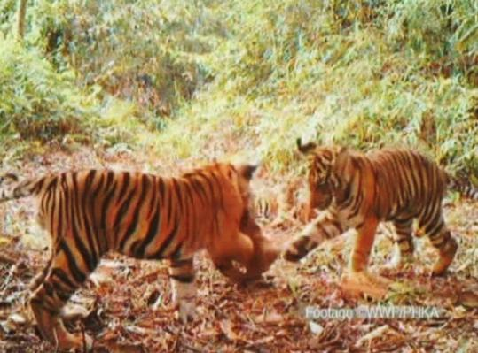 In this video image, Sumatran tiger cubs played with a leaf in Bukit Tigapuluh National Park on Sumatra island, Indonesia.