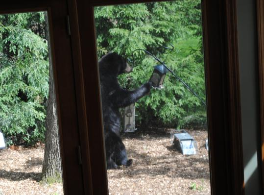 Several bears, including this one, have been spotted in Merrimack, N.H., recently. Police say bird feeders should be brought in.