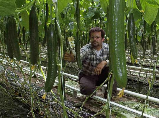 Farmer Fritz Meier looks at cucumbers growing in a greenhouse east of Zurich.