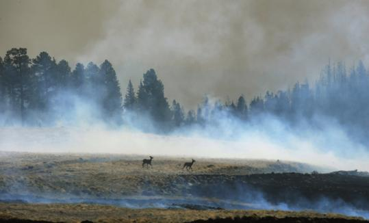 Two elk evaded the wildfire in the forest around the Lee Valley recreational area in the Apache National Forest in Arizona. The blaze had spread over more than 600 square miles and crossed the border into New Mexico.