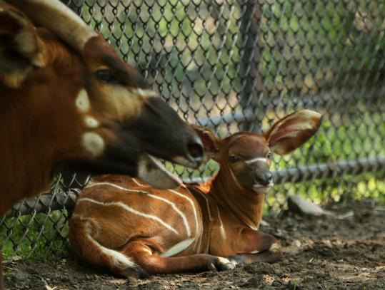 Stanley, a bongo calf born at Franklin Park Zoo in Dorchester Wednesday, rested with her mother yesterday. She is named in honor of the Bruins' Stanley Cup victory, but zoo officials say she will probably be called Lee.