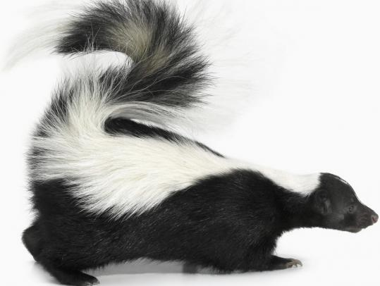 Skunks have a potent odor that is impossible to ignore.