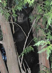 A black bear stayed up in a tree on Lamb Street in Attleboro Sunday until the police lights were turned off.