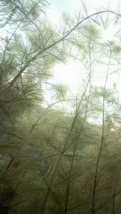 A fish's view of a dense stand of Eurasian milfoil, a non-native invasive species.