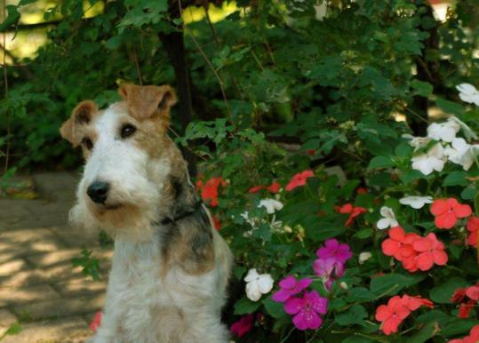 "Wire fox terrier Bella rebounded from surgery to appear in ""Moonrise Kingdom'' with Bruce Willis and Bill Murray."