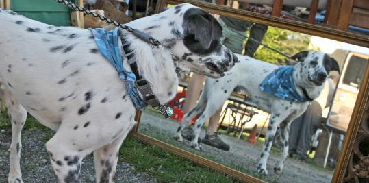 Jack, a dapper border collie/Dalmation mix, admires his reflection as he strolls with his owner through Todd Farm, one of the region's largest antique venues, in Rowley.