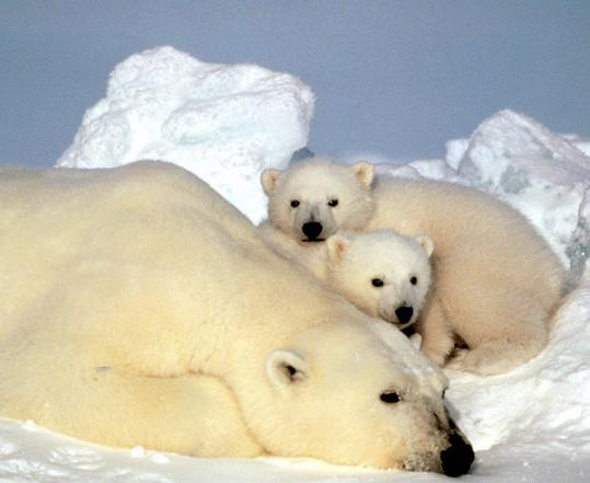 Melting sea ice is forcing polar bears to swim longer distances to find food and reach their habitat, according to a new stu
