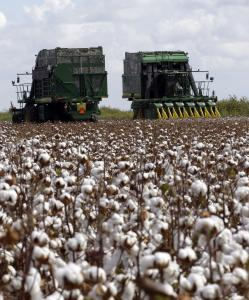Workers harvested cotton near Corpus Christi, Texas. The lack of rain relieved cotton growers, in the middle of their harvest.