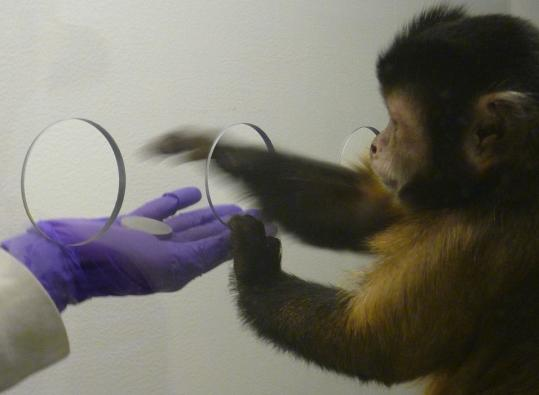 A capuchin monkey used a metal disc as currency in an experiment that predated the tests of the animals' receptiveness to marketing.