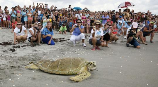 Andre, an endangered green turtle, was released following a 414-day effort to save his life after apparently being hit by a boat.