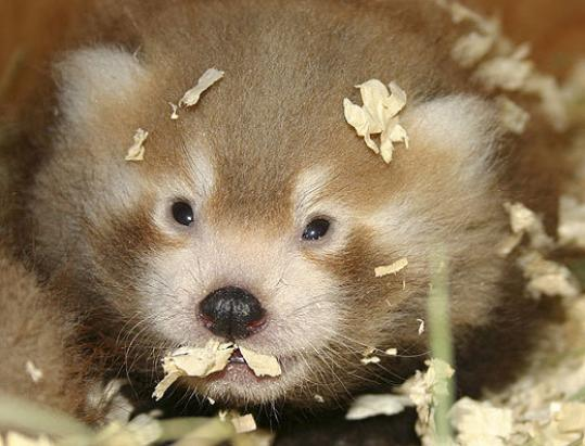 One of the red panda cubs born July 4 peered out from its nest box last week at the zoo. The cubs don't have names yet.