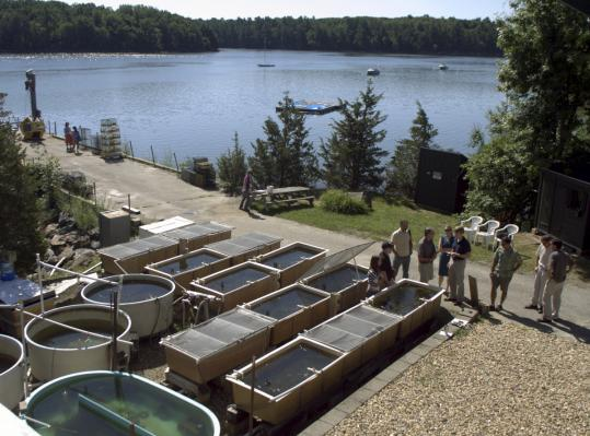The Nature Conservancy is cultivating eelgrass in tanks at a research facility in Durham, N.H. Efforts to restore the plant's population are also underway in Rhode Island and Massachusetts.