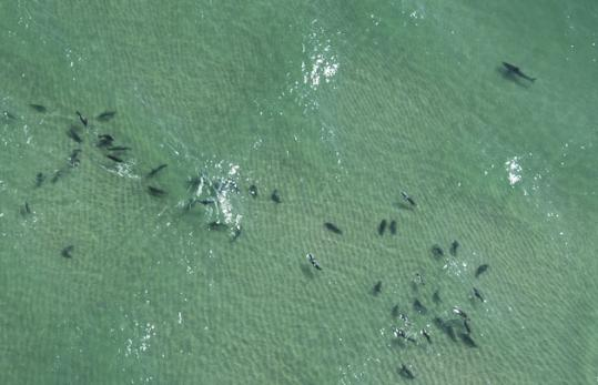 Swimming is banned at Lighthouse Beach when seals, a favorite food of the fearsome great whites, are within 300 feet.