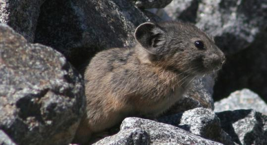 The North American pika has moved upslope at a rate of 475 feet per decade since the 1990s, 10 times its earlier rates.