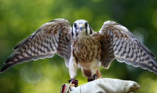 The American kestrel is suffering a precipitous decline in Massachusetts, according to a Mass Audubon report.