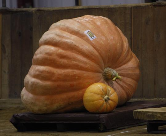 A giant pumpkin sat next to one of more typical size yesterday during the giant pumpkin weigh-off at the Topsfield Fair.