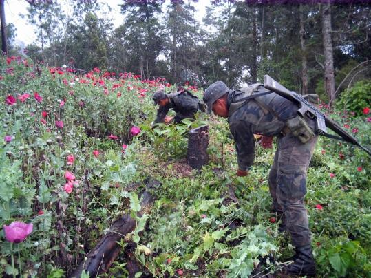 Mexican soldiers cut and burned opium poppies in remote mountains of Guerrero State in southwest Mexico.