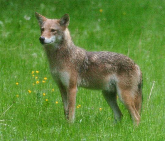 The state's growing coyote population has raised concerns.