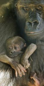 Bana, a Western lowland gorilla, held her newborn baby last week at the Lincoln Park Zoo in Chicago.