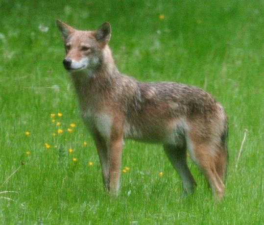 A rise in coyote sightings has Brookline residents on edge and town officials urging legislators to back a new trapping law.