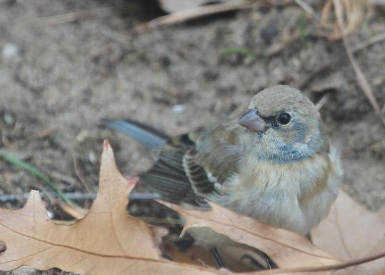 This rare lazuli bunting was spotted in Wellfleet.