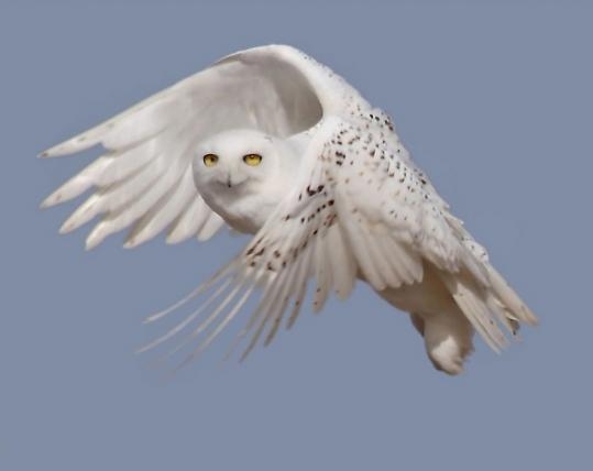 Visitors are urged to keep at least 150 feet away from snowy owls at the refuge.