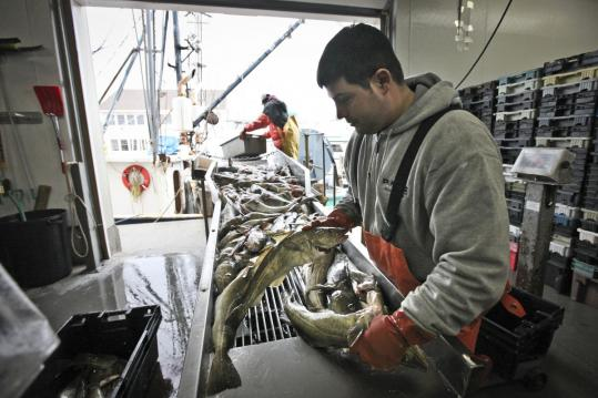 Vito Giacalone sorted cod as it was unloaded from fishing vessels docked at Fisherman's Wharf in Gloucester last week.
