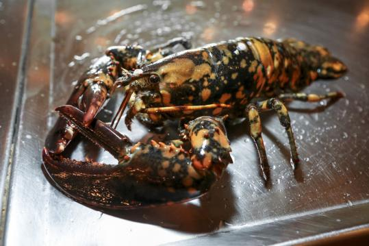 Calvin the calico lobster was named by Jasper White after being discovered at his Summer Shack restaurant in Cambridge.