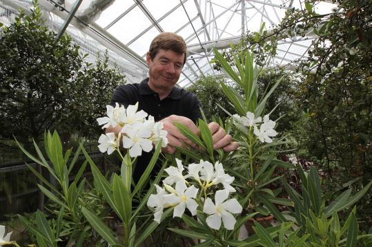 Stan Kozak, chief horticulturist for the Gardner Museum in Boston, with an oleander plant that had been on display at the museum in July and now in its green house in Hingham. Stan Kozak, the Gardner's chief horticulturist, with an oleander plant . (Below), lemons (left) and pyrancantha (right).