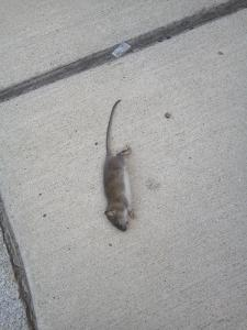 A Revere resident sent this photo of a dead rat to City Hall.